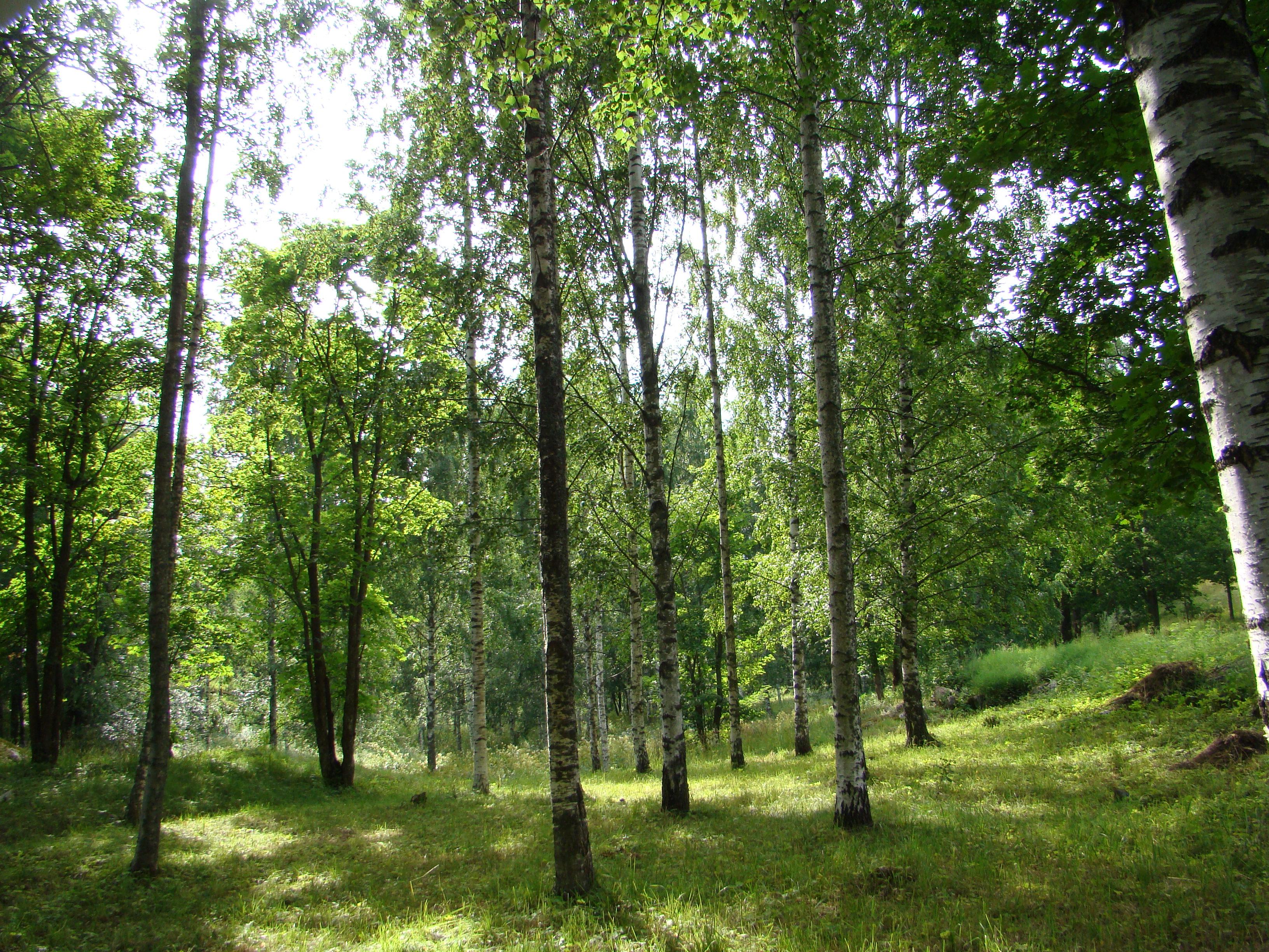 Koivuhaka, Paloniemen luonto- ja kulttuuripolku. Kuva Terhi Saura, Lohjan ympäristönsuojelu.