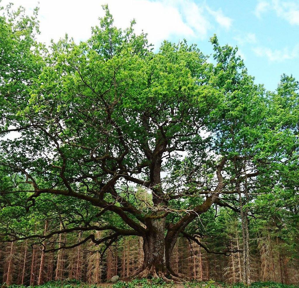 Paavolan tammi, Suomen kaunein puu, Paavolan luontopolku.